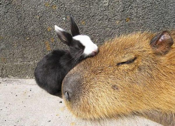 capybara (17)