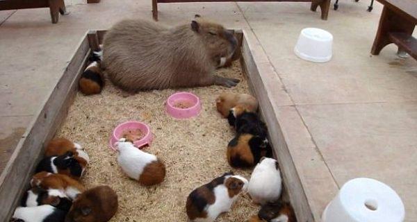 capybara (2)