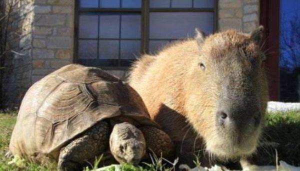 capybara (7)