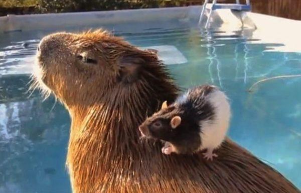 capybara (8)