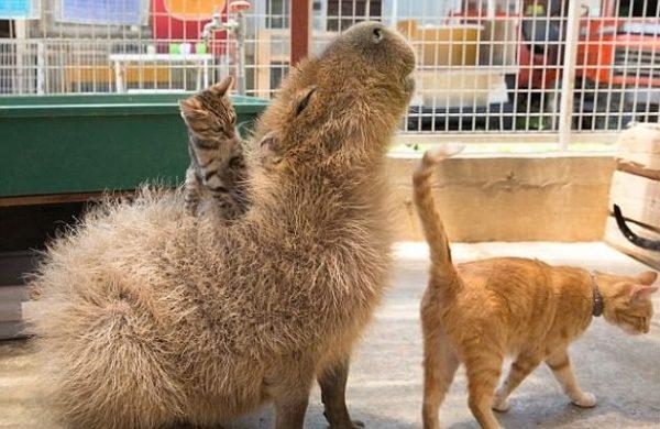 capybara (9)