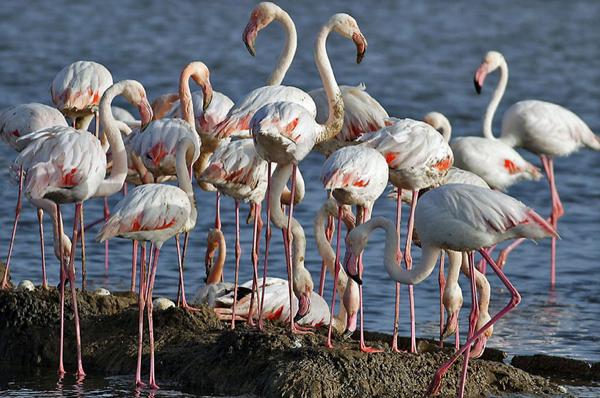 gediz_deltasi_flamingo (1)