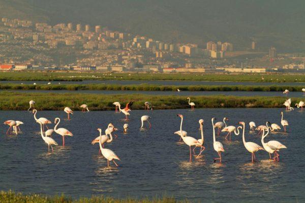 gediz_deltasi_flamingo (2)