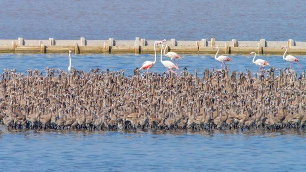 gediz_deltasi_flamingo (4)