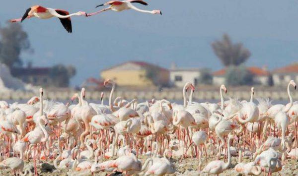 gediz_deltasi_flamingo (6)