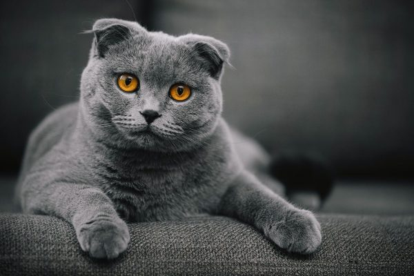 scottish_fold_kedi