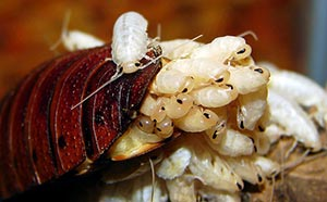 cockroaches_hatching