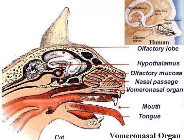 korelmis-organlar-14