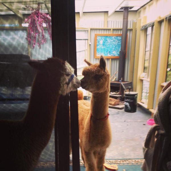 lama_chewpaca (6)