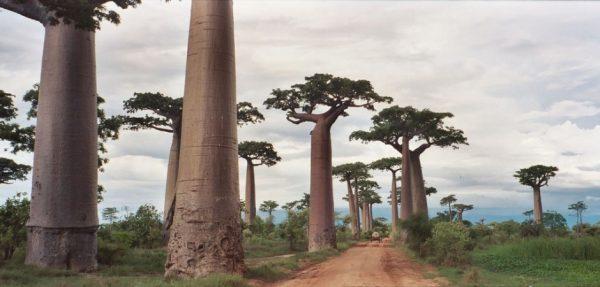 35-Baobab