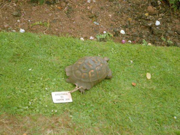 Kaplumbağa-Timothy