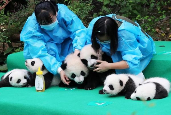 These-images-of-10-panda-cubs-will-fill-your-heart-with-joy-59d2d481c2679__880