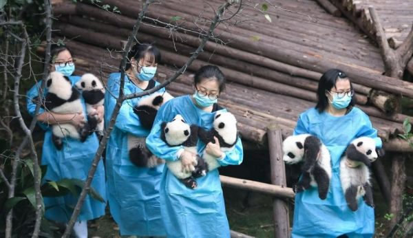 These-images-of-10-panda-cubs-will-fill-your-heart-with-joy-59d2d4852f2e4__880