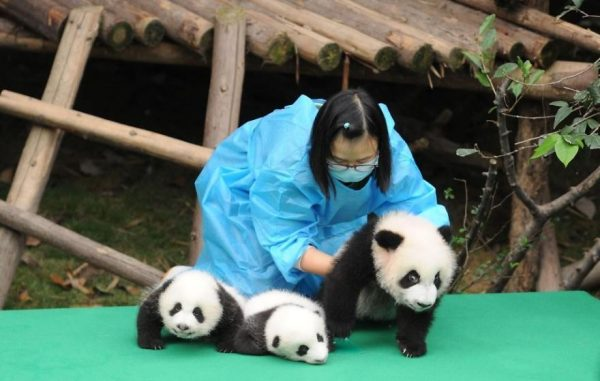 These-images-of-10-panda-cubs-will-fill-your-heart-with-joy-59d2d4881a997__880