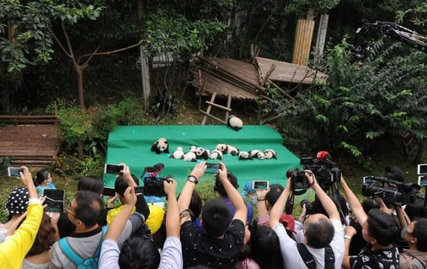 These-images-of-10-panda-cubs-will-fill-your-heart-with-joy-59d2d4cdc8987__880