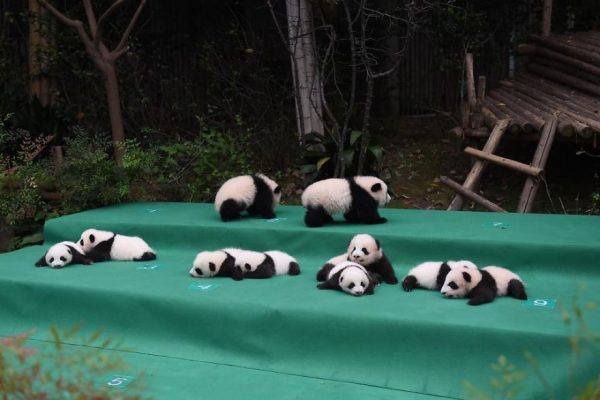 These-images-of-10-panda-cubs-will-fill-your-heart-with-joy-59d2d4f9a6636__880
