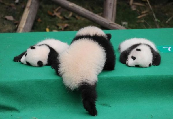 These-images-of-10-panda-cubs-will-fill-your-heart-with-joy-59d2d4fc6cae8__880
