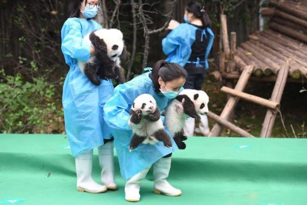 These-images-of-10-panda-cubs-will-fill-your-heart-with-joy-59d2d54312124__880