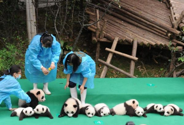 These-images-of-10-panda-cubs-will-fill-your-heart-with-joy-59d2db3f7202e__880