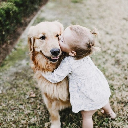 golden_retriever_kopek (13)