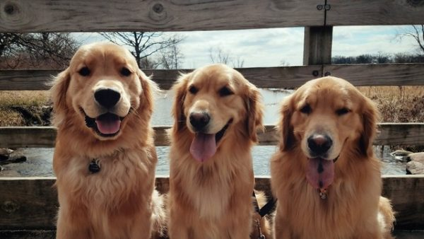 golden_retriever_kopek (15)