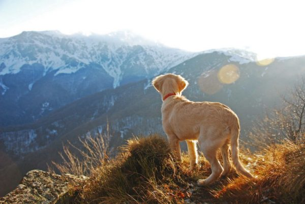 golden_retriever_kopek (4)