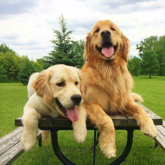 golden_retriever_kopek (8)