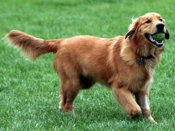 golden_retriever_kopek (9)