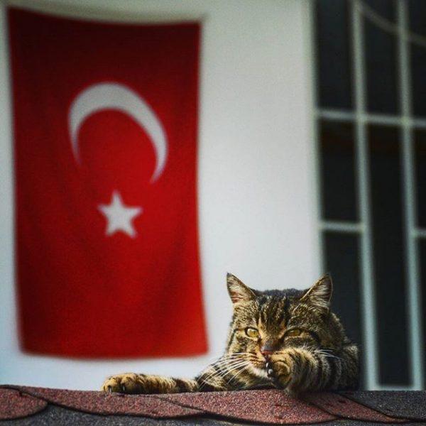 türk_bayrağı_vatansever_kedi (10)