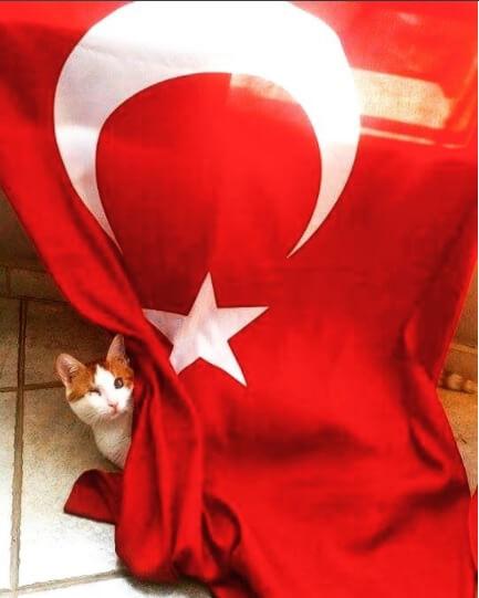 türk_bayrağı_vatansever_kedi (14)