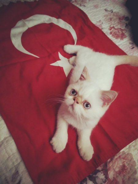 türk_bayrağı_vatansever_kedi (3)