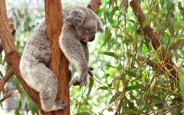 uyuyan_koala