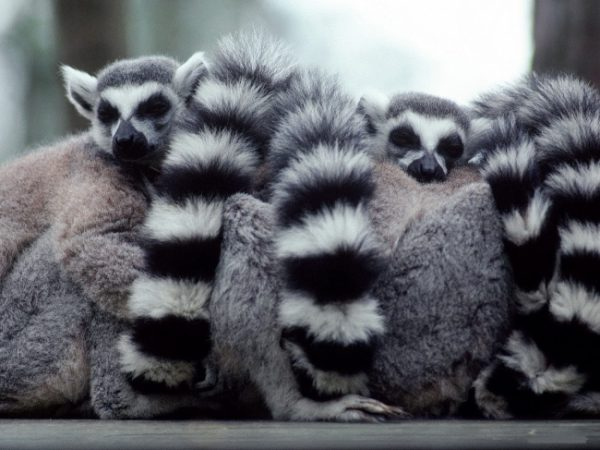 uyuyan_lemur
