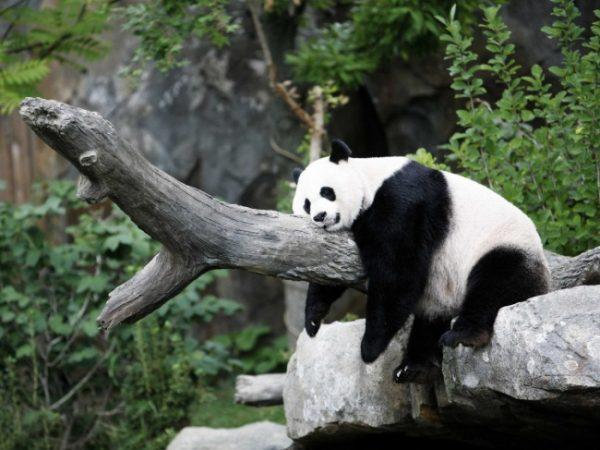 uyuyan_panda