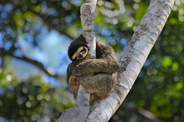uyuyan_sloth