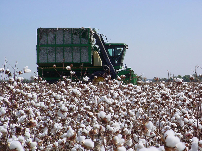 Figure 1 Cotton field