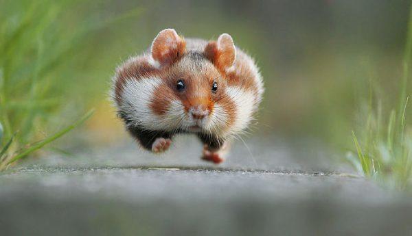 sevimli_hamster_vahşi (11)