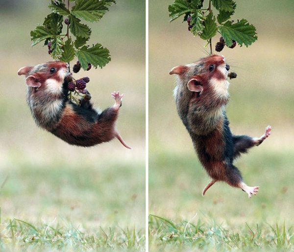sevimli_hamster_vahşi (12)