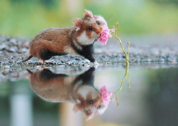 sevimli_hamster_vahşi (2)
