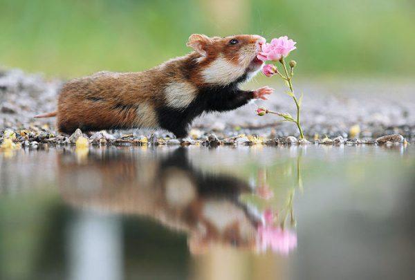 sevimli_hamster_vahşi (3)