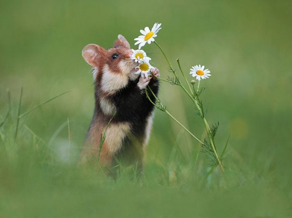 sevimli_hamster_vahşi (5)
