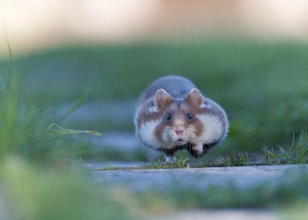 sevimli_hamster_vahşi (8)