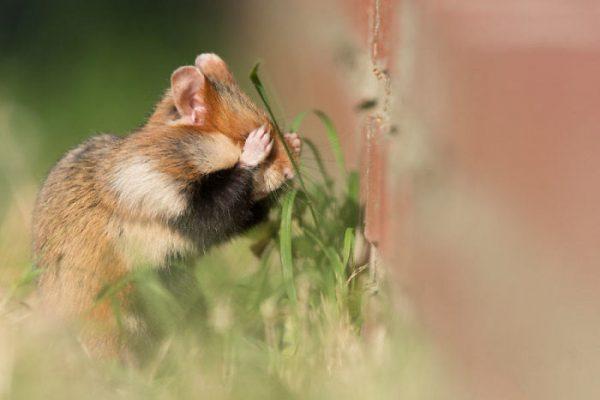 sevimli_hamster_vahşi (9)