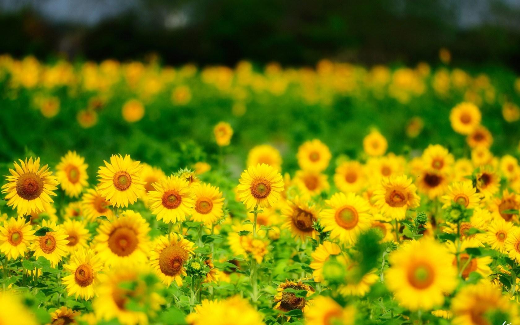 sunflowers-summer-nature-1