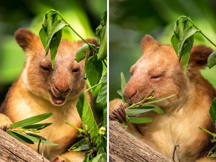 tree-kangaroo-1-5a167e7d3babb__700