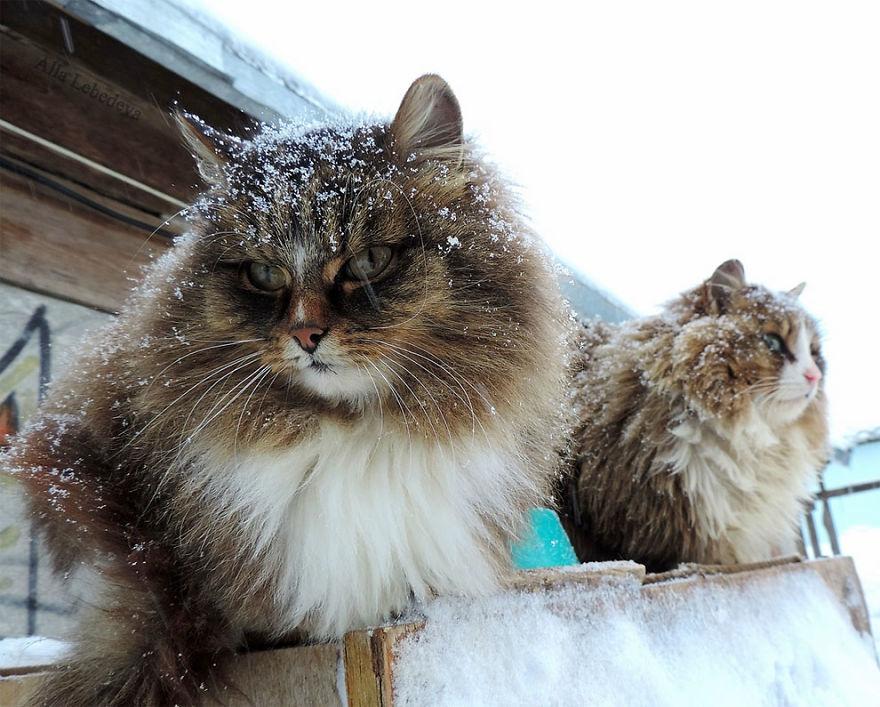 siberian-farm-cats-alla-lebedeva-10-5a3380d3e276a__880