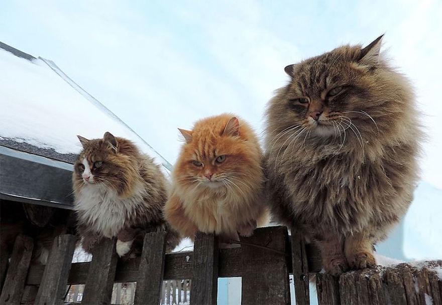 siberian-farm-cats-alla-lebedeva-16-5a3380e0d4591__880