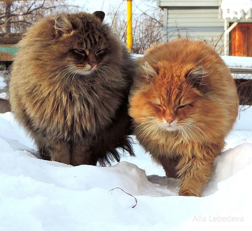 siberian-farm-cats-alla-lebedeva-19-5a3380e806dc9__880
