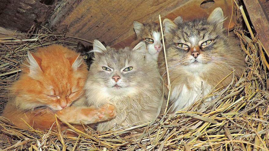 siberian-farm-cats-alla-lebedeva-30-5a33810405791__880