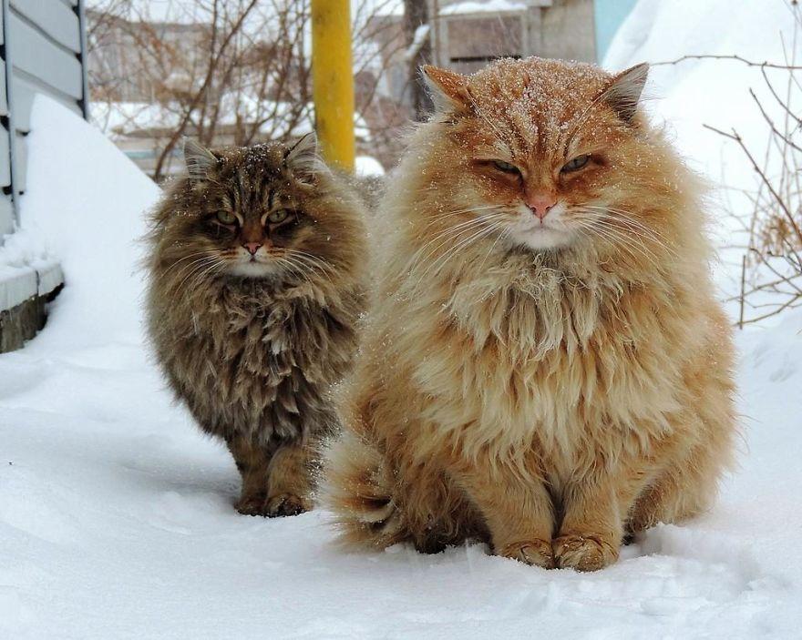 siberian-farm-cats-alla-lebedeva-31-5a338105d8556__880